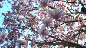 Magnoliabloesem op tak wijd stock videobeelden