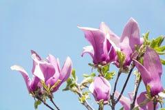 Magnoliabloesem royalty-vrije stock foto's