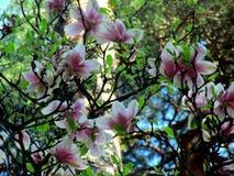 Magnoliabloesem royalty-vrije stock afbeeldingen