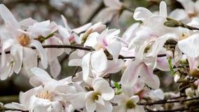 Magnoliabloesems Royalty-vrije Stock Foto