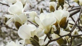 Magnoliabloesems Royalty-vrije Stock Foto's