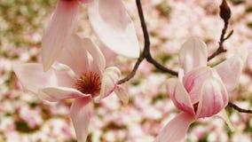 Magnoliabloesems Stock Afbeeldingen