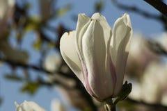 Magnoliabloesems Stock Foto's