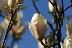 Magnoliabloesems Stock Foto