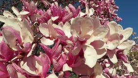 Magnoliabloesems in de wind stock footage