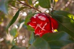 Magnoliablom Arkivfoton