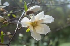 Magnoliablomma i trädgården i vår Arkivbilder