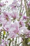Magnoliablomman blomstrar på trädfilial Arkivbilder