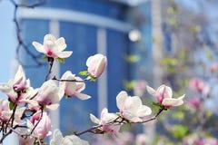 Magnoliablomman i stad parkerar Arkivfoto