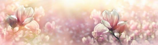 Magnoliablomman tände vid solljus - härlig blomning Arkivbilder