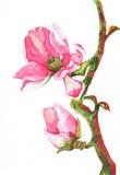 Magnoliablommavattenfärg Arkivfoton