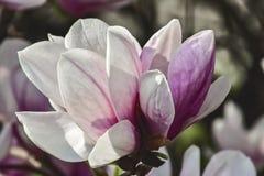 Magnoliablommavit och rosa färger Royaltyfria Bilder