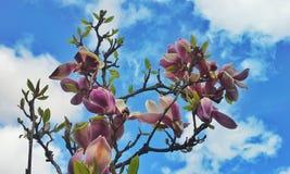 Magnoliablommor för blå himmel Fotografering för Bildbyråer