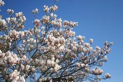 Magnoliablommor i blomning och som knoppen arkivbilder