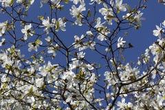 Magnoliablomning Fotografering för Bildbyråer