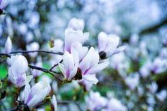 Magnoliablomning Royaltyfri Bild