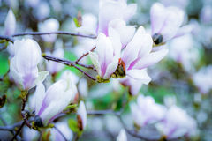 Magnoliablomning Royaltyfri Fotografi