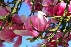 Magnoliablomning royaltyfria foton