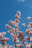 Magnoliablomning Arkivfoton