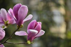 Magnoliablomning arkivbild