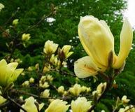 Magnoliablomning Härligt gult blomma magnoliaslut upp Kinesisk magnoliadenudata Yellow River 'Fei Huang 'med stor delikatessaffär royaltyfri foto