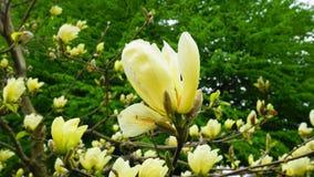 Magnoliablomning H?rligt gult blomma magnoliaslut upp Kinesisk magnoliadenudata Yellow River ?Fei Huang ?med stor delikatessaff?r royaltyfria bilder