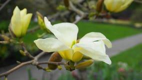 Magnoliablomning H?rligt gult blomma magnoliaslut upp Kinesisk magnoliadenudata Yellow River ?Fei Huang ?med stor delikatessaff?r royaltyfria foton