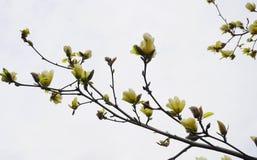 Magnoliablomning H?rligt gult blomma magnoliaslut upp Kinesisk magnoliadenudata Yellow River ?Fei Huang ?med stor delikatessaff?r arkivbild