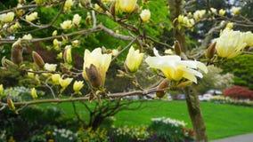 Magnoliablomning H?rligt gult blomma magnoliaslut upp Kinesisk magnoliadenudata Yellow River ?Fei Huang ?med stor delikatessaff?r royaltyfri bild