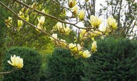 Magnoliablomning H?rligt gult blomma magnoliaslut upp Kinesisk magnoliadenudata Yellow River ?Fei Huang ?med stor delikatessaff?r arkivfoto