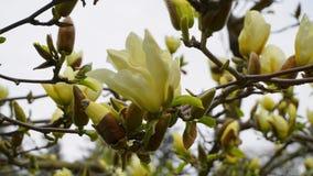 Magnoliablomning H?rligt gult blomma magnoliaslut upp Kinesisk magnoliadenudata Yellow River ?Fei Huang ?med stor delikatessaff?r arkivfoton