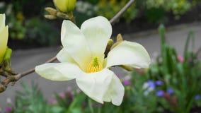Magnoliablomning H?rligt gult blomma magnoliaslut upp Kinesisk magnoliadenudata Yellow River ?Fei Huang ?med stor delikatessaff?r royaltyfri fotografi