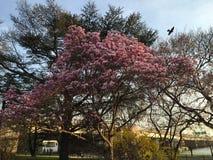 Magnoliablomning i Washington DC Fotografering för Bildbyråer