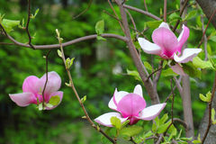 Magnoliablomningar Royaltyfri Foto