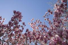 Magnoliablomningar arkivfoton