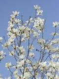 Magnoliablomningar Fotografering för Bildbyråer