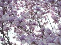 Magnoliablomningar Arkivfoto