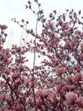 Magnoliablomningar Royaltyfri Bild