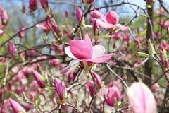 Magnoliablomningar blommar beautifully Solen ?r gl?nsande Skyen ?r bl?tt kom fj?dern Naturlig fotobakgrund arkivfoto