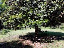 Magnoliablomningar royaltyfri fotografi