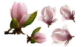 Magnoliablomningblomma som isoleras, samling Fotografering för Bildbyråer