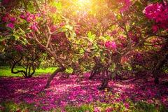 Magnoliabomen en bloemen in park, zon die, romantische stemming glanzen Royalty-vrije Stock Foto