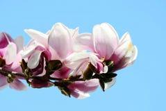 Magnoliaboom royalty-vrije stock afbeeldingen