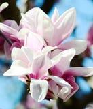Magnoliaboom stock afbeelding