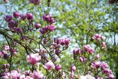 Magnoliaboom Stock Afbeeldingen