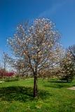 Magnoliaboom Stock Foto's
