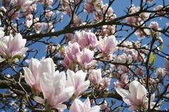 Magnoliaboom in bloesem met prachtige bloemen in roze en witte kleuren - de lenteschoonheid Stock Foto's
