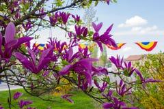 Magnoliaboom in de het tot bloei komen dagen stock foto