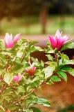 Magnoliaboom die met bloemen in Cardiff Wales het UK bloeien royalty-vrije stock foto's