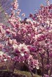 magnoliaboom het tot bloei komen Stock Afbeelding
